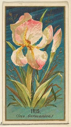Issued by Goodwin & Company. George S. Harris & Sons (American, Philadelphia). Iris (Iris Germanica), from the Flowers series for Old Judge Cigarettes, 1890. The Metropolitan Museum of Art, New York. The Jefferson R. Burdick Collection, Gift of Jefferson R. Burdick (Burdick 214, N164.42) #iris #flower