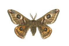 Emperor Moth. found in Britain flying commonly in the countryside and in fields. Will be part of my new tattoo