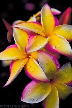 Hawaiian Plumerias