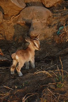 There's something wrong with you if you don't love a baby goat!