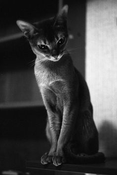 Photo: Christer Stromholm. Abyssinian cat!!!!!!!!!!!!!!!!!!!!!!!!!!!!!!!!!!!!!!!