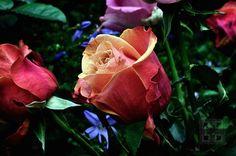 Rose Red Orange