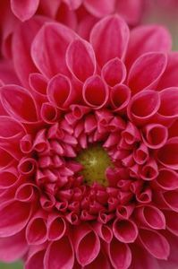pink flowers, meals, grow dahlia, bones, dahlias, plants, paper flowers, salts, sugar