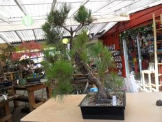 This is the Japanese Black Pine that we brought in for guest artist, Lee Cheatle, to work on this weekend...