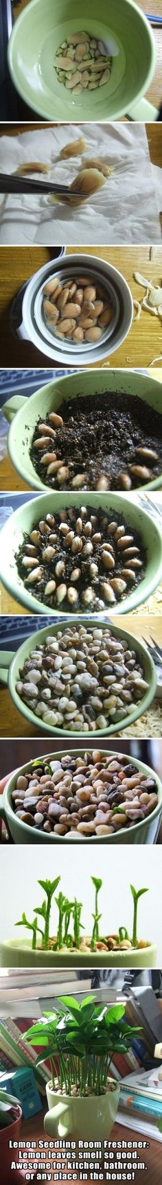 Small Plant Grown From Lemon Seeds. 1. Soak lemons seeds overnight 2. Gently remove outer layer of seeds 3. Put back into water as you prepare soil. 4. Plant lemon seeds in a circle pattern. 5. Place small pebbles on top of seeds 6. Water occasionally and watch it grow.