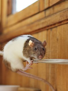 Rats are amazing :)