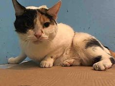 TO BE DESTROYED 4/27/13 Manhattan Center NYC ACC $95 IN RESCUE PLEDGES                                                                                                                                                                                                                                         CUCA. ID # is A0963044. Female 8 YEARS Entered AC with issues with her back limbs, needs to be assessed for possible neurological issues/trauma ASAP Advocate for her tonight for a foster/adopter