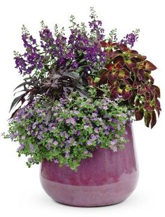 PROVEN WINNERS | TAPESTRY http://emfl.us/p0Gd coleus planter for shade, tapestries, potato vine, flower annual, gardens, garden idea, light shades, proven winner, flower planter