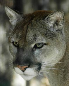 Absolutely Gorgeous Cougar - Nice Shot