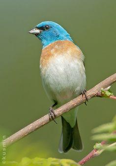 Lazuli Bunting (passerina amoena)