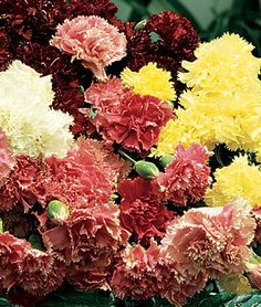 Carnation 'Burpee's Super Giant Mix' has a spicy fragrance, long lasting blooms that are delightful in the garden and superb for cutting.