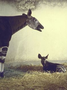 okapi and young