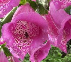 Digitalis purpurea '