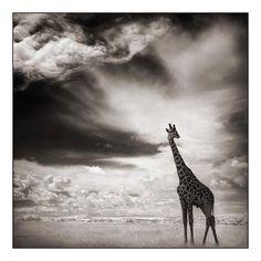 Giraffe Under Big Sky, Masai Mara 2007