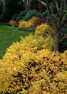 Goldmound spirea in Autumn  - Johnsen Landscapes #heavenisagarden
