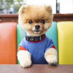 Move Over, Boo! There Is Another Adorable Pomeranian on Instagram | Cambio