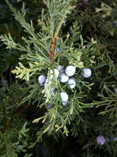 """Juniper berries are one of my favorite berries to harvest because they have many magickal uses!  Carry around juniper berries if you find yourself bombarded by negativity. Juniper helps purify the aura and will protect you from any negative energy or incorrect magick that is sent your way.  Juniper berries can be dried and burned as an incense to banish any """"funky"""" energy from a room and to aid in rituals that involve healing."""