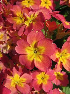 ✯ Primrose Flowers