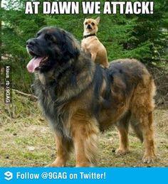 anim, guy face, funni, funnyd, crackin, attack, dog, chihuahua, bahahaha