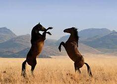 Wild horses in a little disbute.