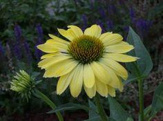 Yellow Coneflower  Want