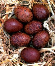 a 'chocolate' egg laid by a Maran chicken... Hmmmm, I'm gonna find some pullets.... gotta have some!