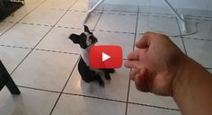 This Boston Terrier Pup is Playing Dead in a VERY Dramatic Way! Watch! ► http://www.bterrier.com/?p=26263