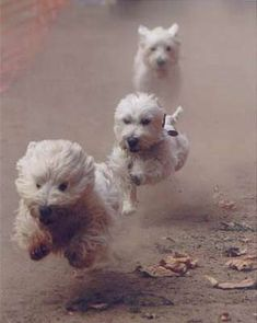 Run westies run! -westie rescue of CA