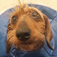 PLEASE HELP US! Ten (10) more coming into rescue.. - Please meet Miss Molly. She is one of over 30 dachshunds that Furever   Dachshund Rescue has rescued from a terrible hoarding situation in New   England this past weekend. We need to raise enough money to care for these dachshunds in need! Right now ...