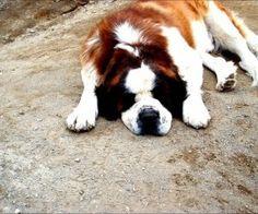 Saint Bernard sleeping outdoor wallpaper