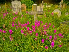 WILD PINK IN THE CEMETERY............