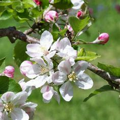 State flower - the apple blossom