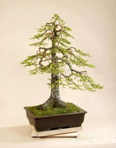 ~ Bonsai Tree ~