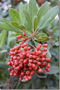 Toyon-California native plant