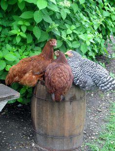 Hen party chicken, hen parti, barrel