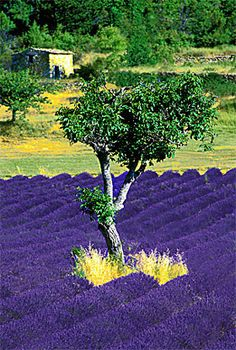 Lavender blooming profusely with a lone olive tree in its midst-Provence, France