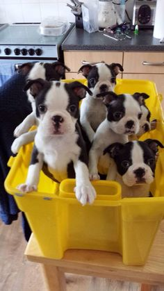 Boston's in a bucket! #dogs #pets #BostonTerriers #puppies Facebook.com/sodoggonefunny
