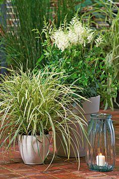 "Un bel assemblage ! Carex marrowii ""Ice Dance"" et Astilbe blanche !"