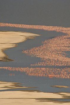 bird, pink flamingos