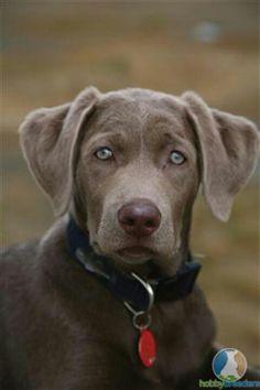 My next dog. A Silver Lab!
