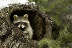 animal pics, funny animals, racoon, tree stumps, creatur, raccoons, natur, spirit guid, stephen oach