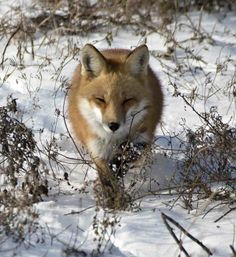 Red Fox by Bonnie DeLap