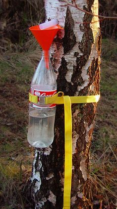 """How to collect birch sap. Birch sugar is the original """"Xylitol""""."""