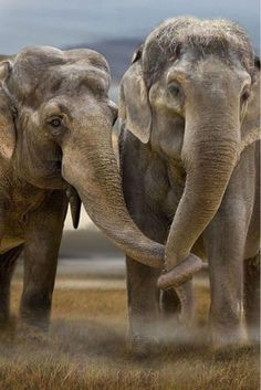elephants, friends, hold trunk, trunks, baby animals