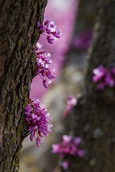spring blooms, eastern redbud tree, Chicago Botanic Garden