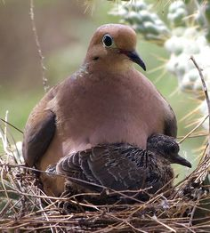 Mama dove with babe mourn dove, nest, mother dove