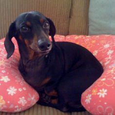 Get a boppy for your dachshund. They love to feel snuggly!