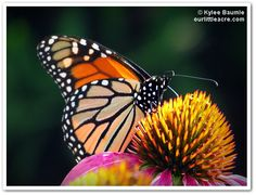 "Our Little Acre: ""Monarchs Led Me To This Talented Artist"""