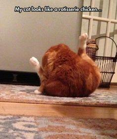 anim, funny cats, 77 pic, funni pictur, rotisserie chicken, fat cats, funny chicken, rotisseri chicken, chicken cat