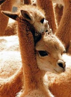 The vicuña (Vicugna vicugna) or vicugna is one of two wild South American camelids, along with the guanaco, which live in the high alpine areas of the Andes.  It is a relative of the llama.